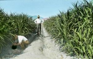 Sugar Cane in Arizona
