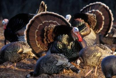Rio Grande Wild Turkey - Star of American Thanksgiving