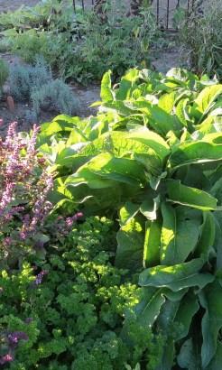 Multiple Herbs in a Garden for Tea
