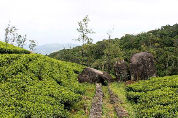 Tea bushes in Sri Lanka.