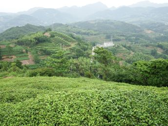 Tea fields in Fuding, China. In the history of green tea, this is one of the oldest growing regions.