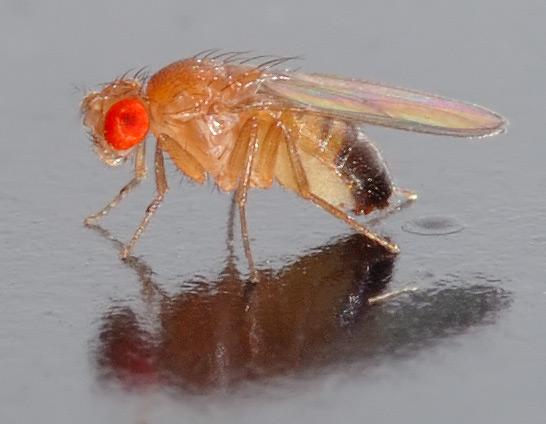 VENI beurs voor onderzoek naar fruitvliegen met ADHD