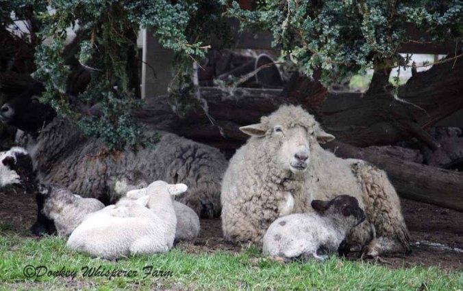 sheepfamily