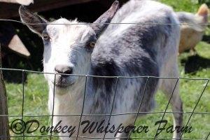 goatbestshot2014aprilneighbor