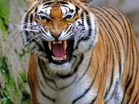 Chiropractic and Running from Tigers
