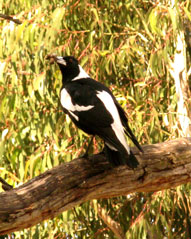 Magpie perched in a tree.