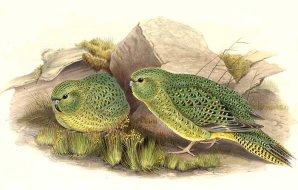Drawing of two night parrots.