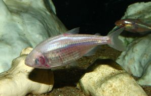 Mexican cavefish
