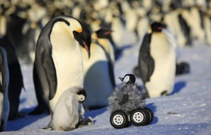 Emperor penguin adults and chick with rover.