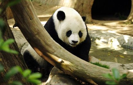 A panda sitting behind a branch.