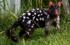 A dark, spotty quoll.
