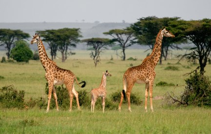 Two adult giraffes and a younger one.