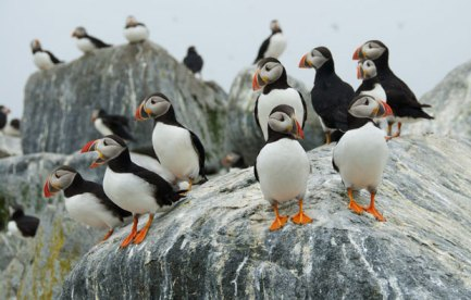 Several puffins sitting on a poo-stained rock.
