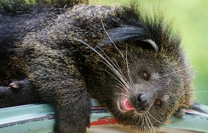 bearcat lying down