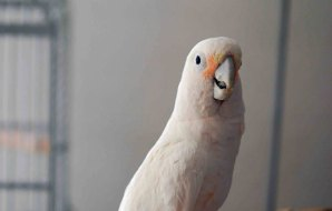 a cockatoo