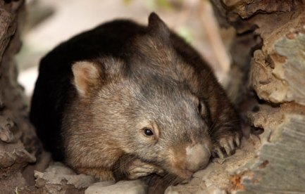Picture of a wombat.