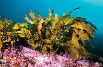 Kelp flourishes in Sydney's colourful reefsImage: John Turnbull