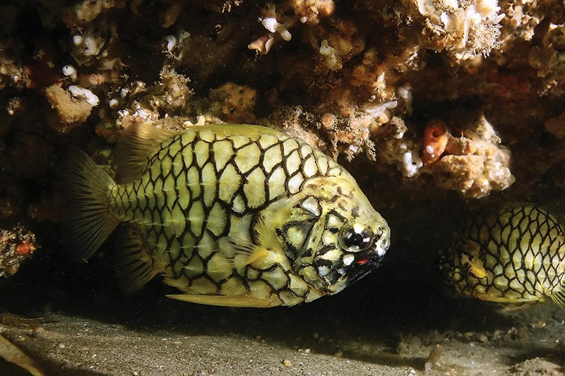A pale yellow fish, with a black hexagon pattern on it