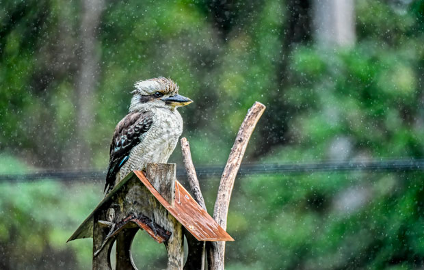 A kookaburra in the rain