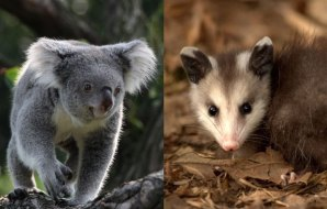 Two images, one of a Koala, the other a possum.