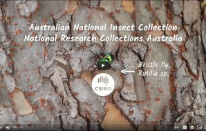a screenshot of a youtube video: Australian National Insect Collection National Research Collections Australia with a picture of a Bristle fly Rutilia sp.