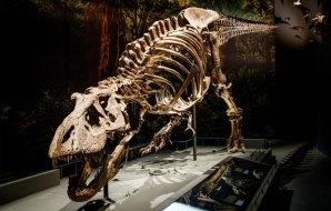 Skeleton of T-rex