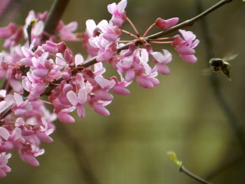Pollination of the Redbud