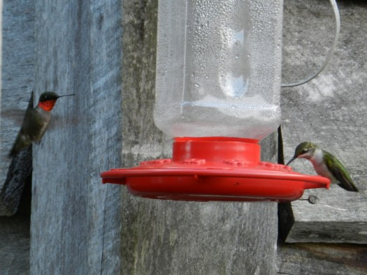 Photo of a male and female Ruby Throated Hummingbird sharing a feeder