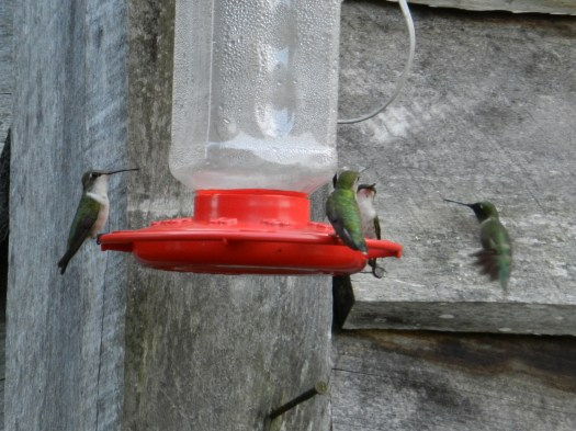 Photograph of four hummingbirds at a feeder