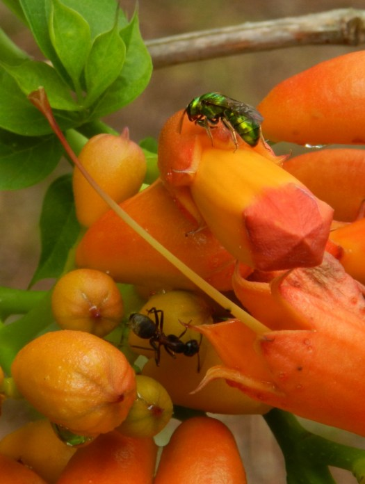 photograph of a green fly on orange trumpet creeper buds