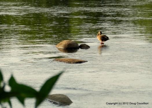 photograph of a mallard duck on the James River