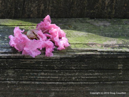 photograph of a pink crape myrtle blossom resting on a wooden fence rail