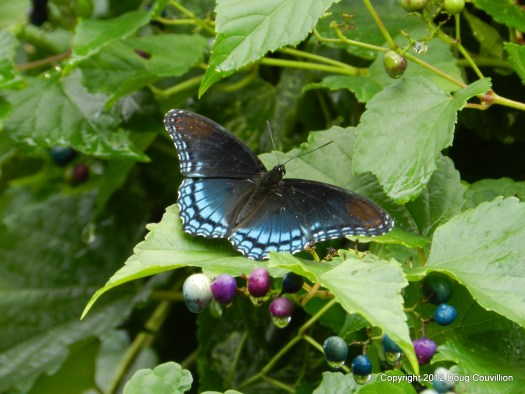 Photograph of a white admiral butterfly on a grape vine with fruit