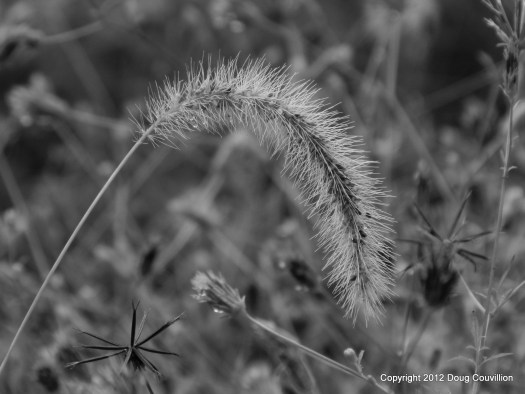 black and white photograph of a grass seedpod