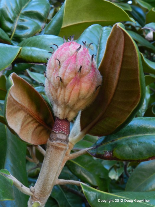 photograph of a magnolia cone