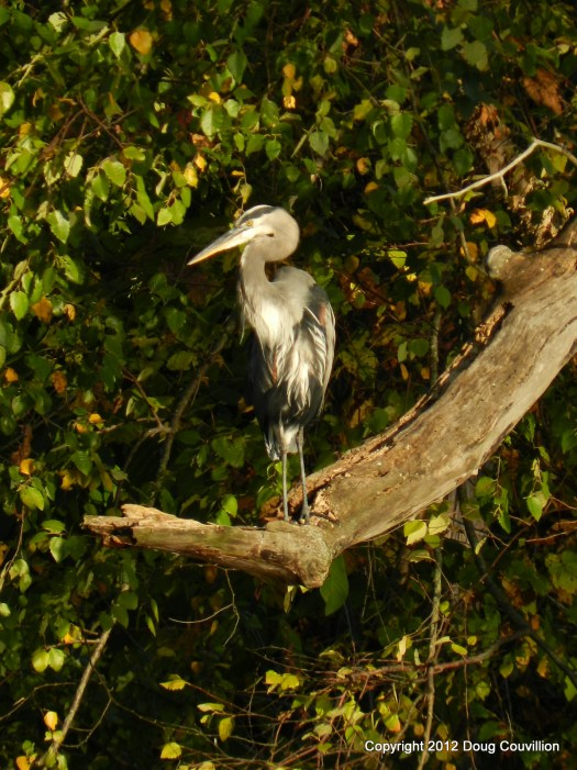 photograph of a great blue heron perched on a branch
