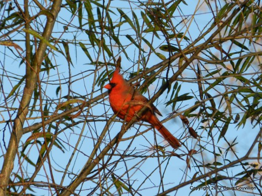 photograph of a male cardinal in a tree