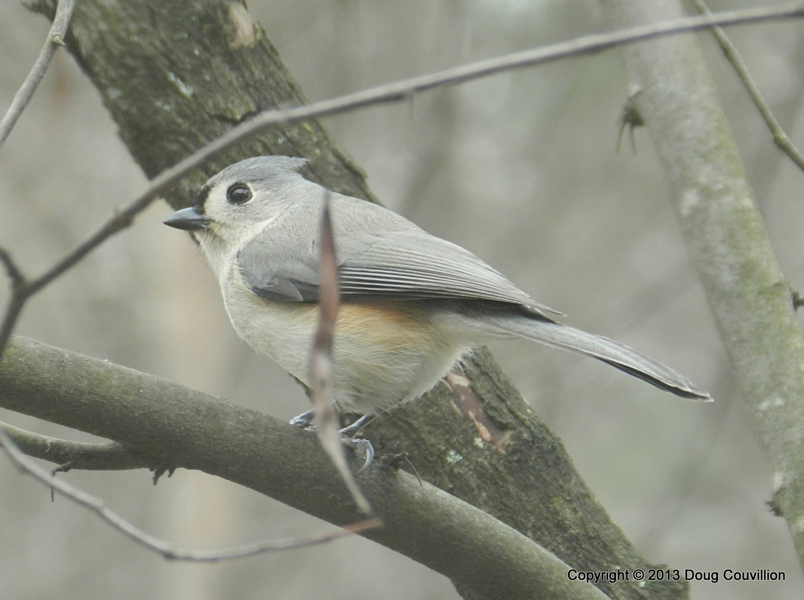 photograph of a tufted titmouse