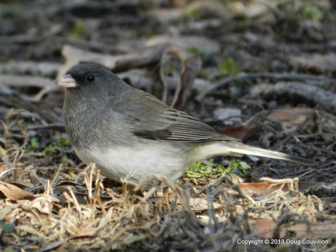 photograph of a dark-eyed junco