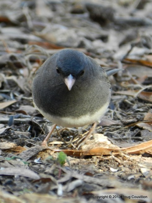 photograph of dark-eyed junco foraging for seeds