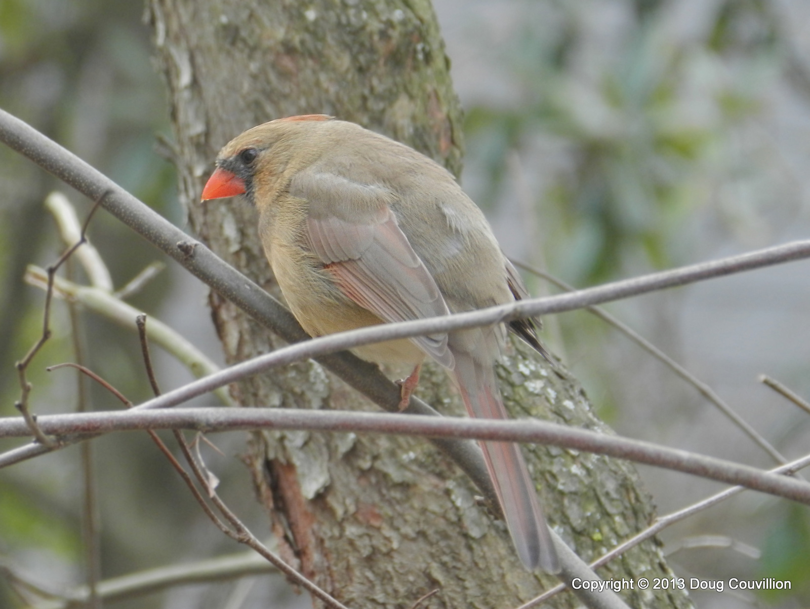 photograph of a female cardinal perched in a tree