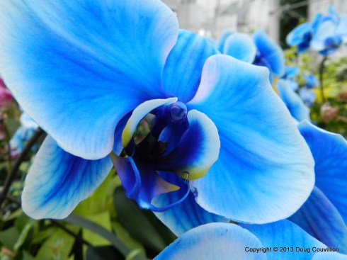 close up photograph of a blue orchid bloom