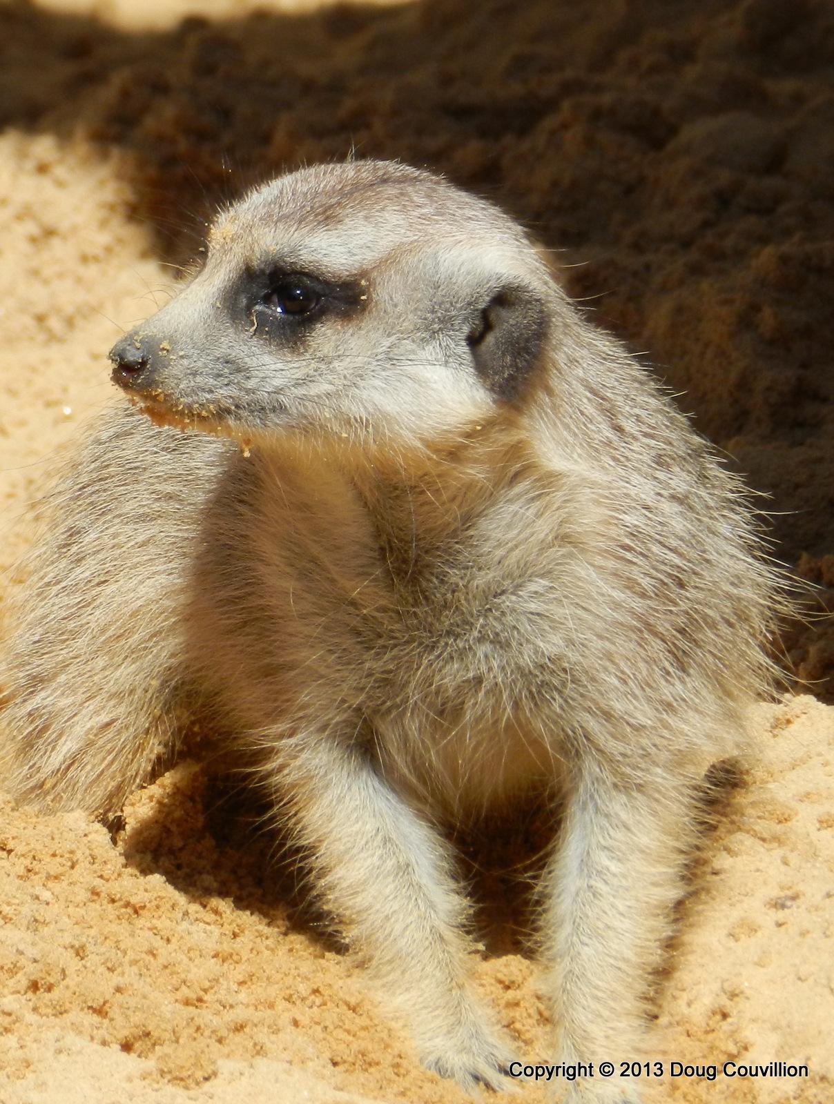 photograph of a meerkat