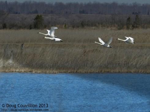 photograph of tundra swans taking flight