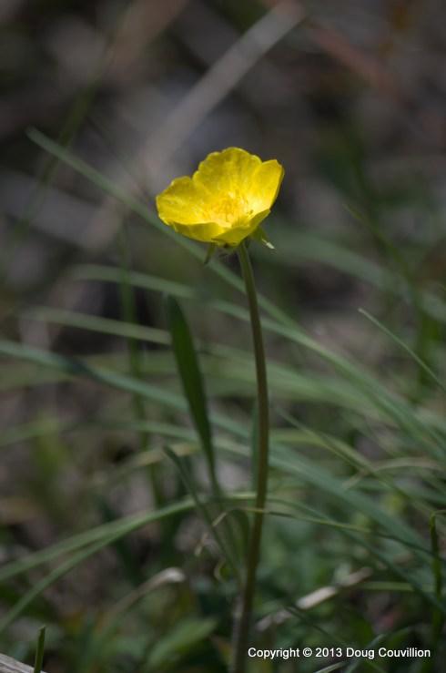photograph of a buttercup flower