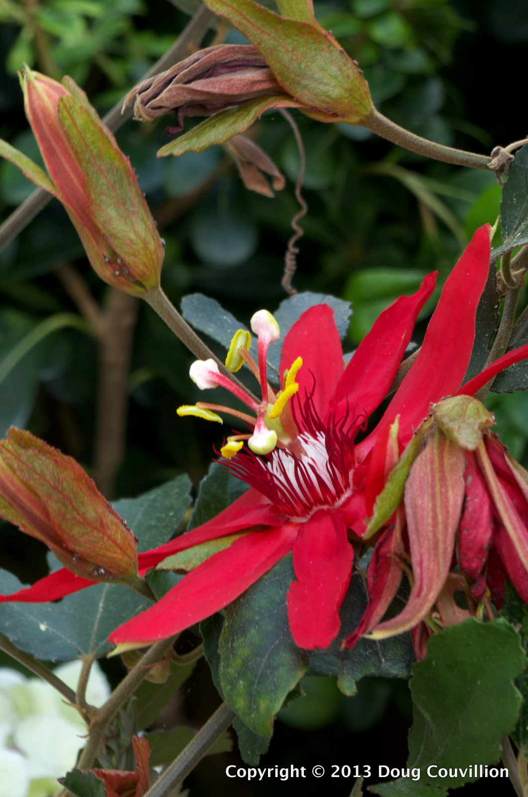 photograph of a large, red flower