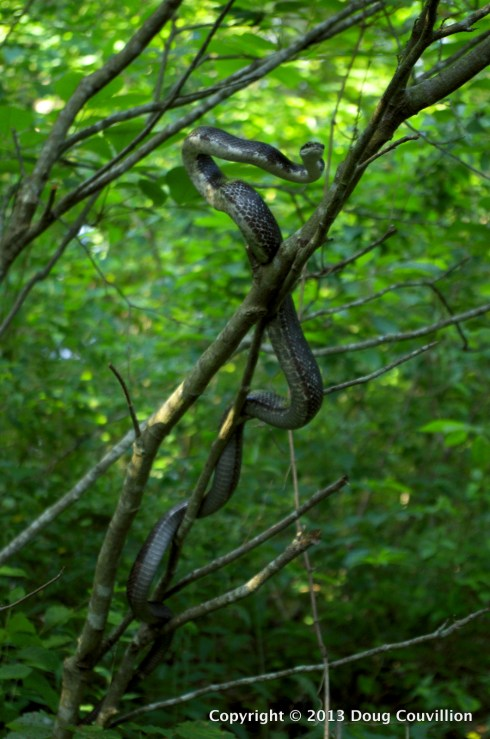 photograph of a rat snake displaying an agressive posture