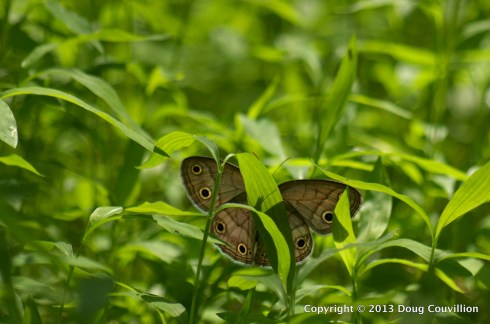 backlit photograph of a little wood satyr butterfly resting on a leaf