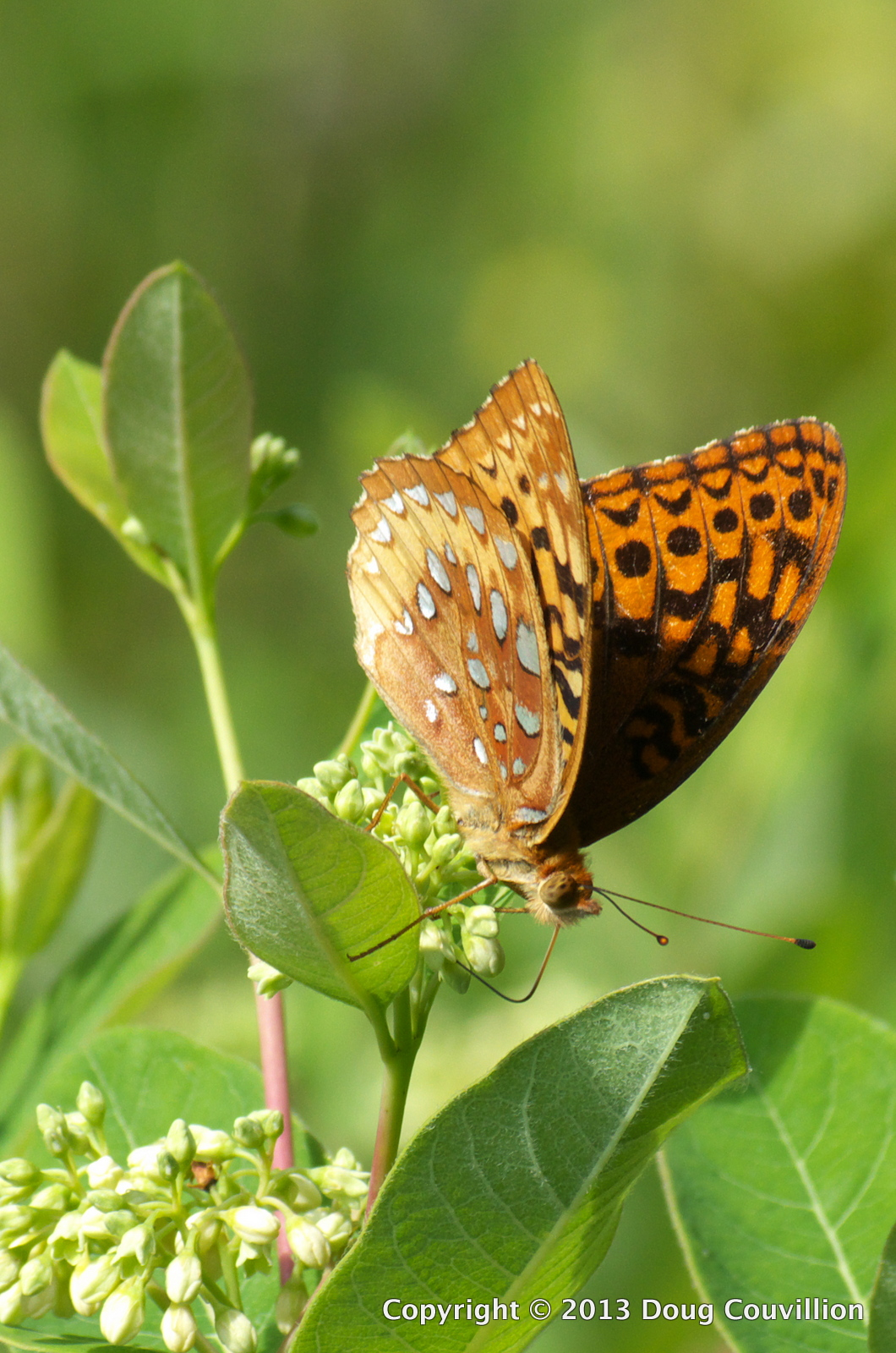 photograph of a great spangled fritillary butterfly drinking nectar from a wild flower