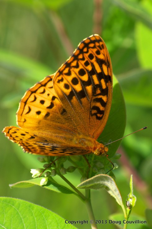 photograph of a great spangled fritillary butterfly on a wild flower